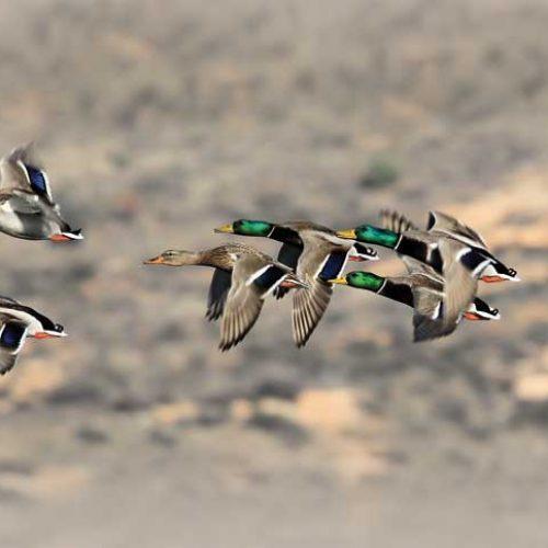 4 cosas sobre patos que todo cazador debería saber