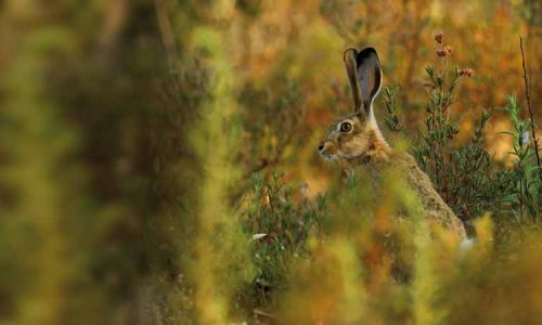 Desvelamos 4 importantes secretos de la liebre ibérica