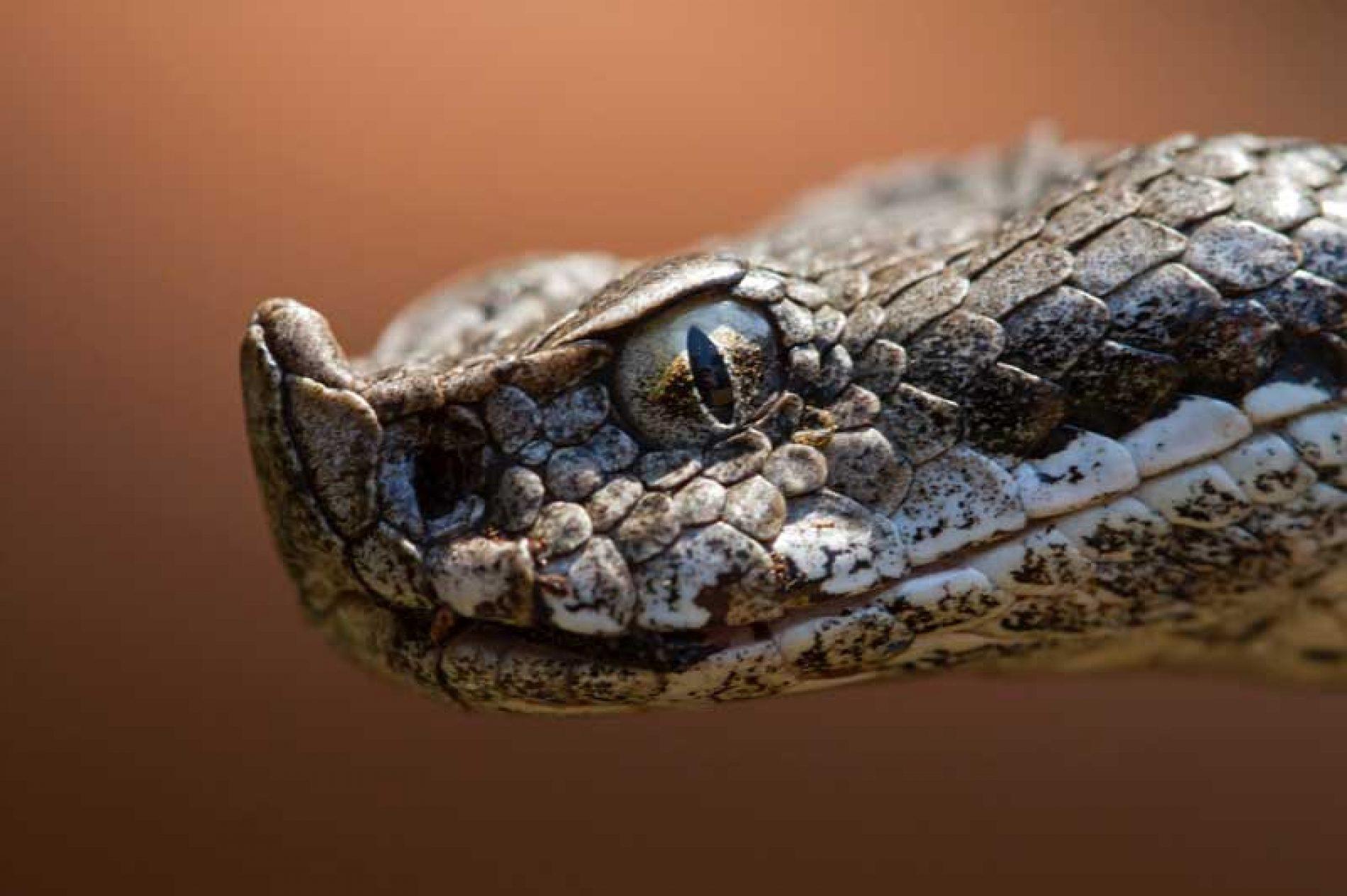 ¿Son las serpientes predadoras de la caza menor?