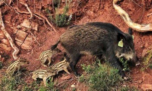 Los cazadores dicen basta a la manipulación del proyecto de vacuna para jabalís