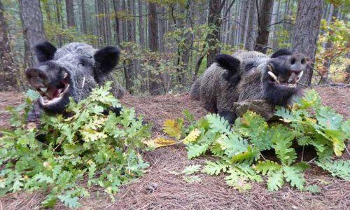 Jabalíes en Turquía, seis días de caza auténtica y trabajada
