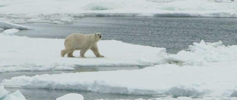 oso-polar-hielo