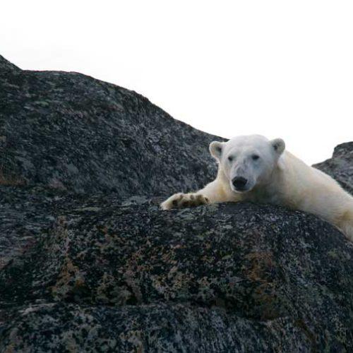 Proyecto Oso Polar Antártico, una vía para su conservación