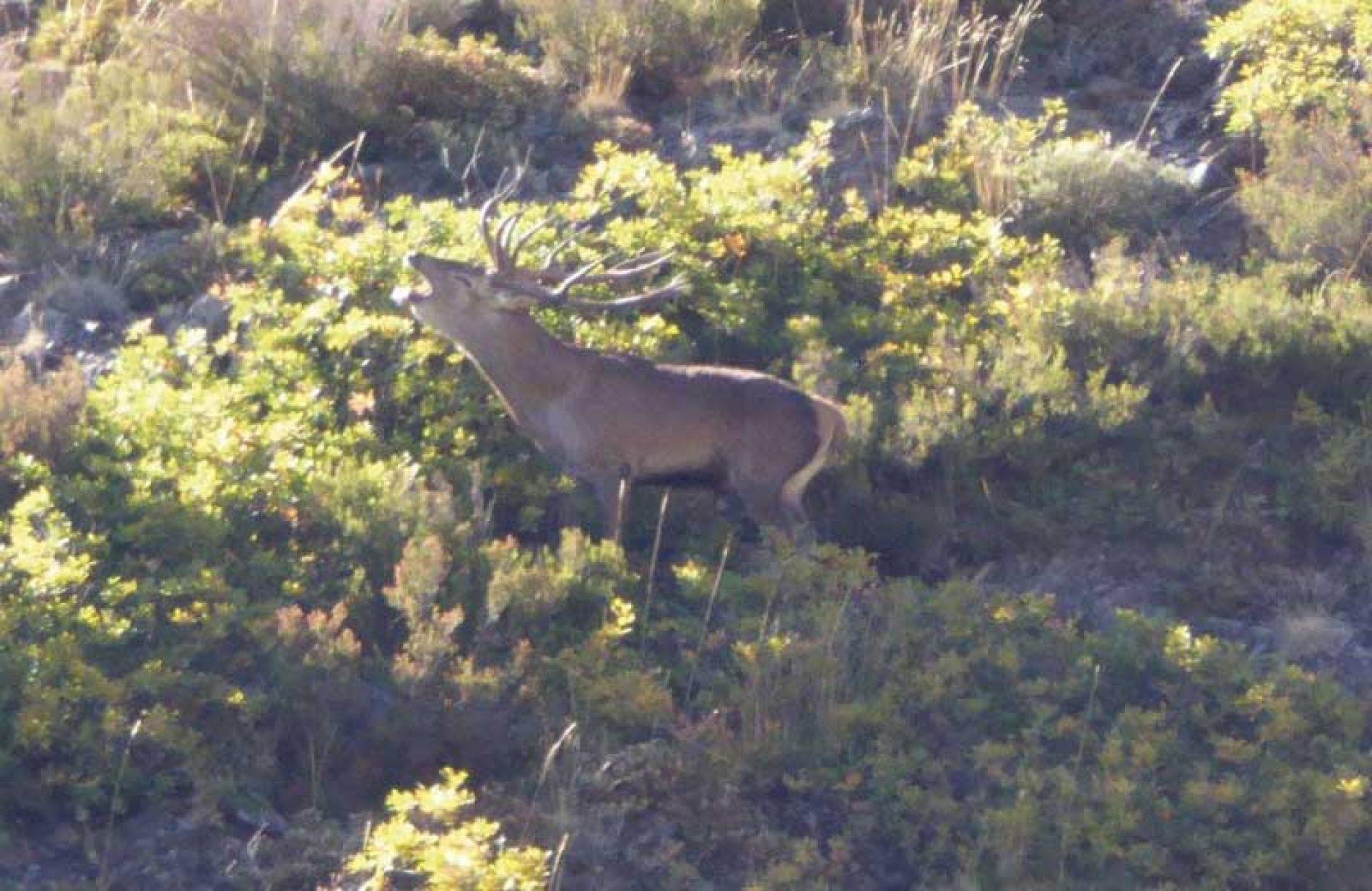 Berrea salvaje, la esencia de la caza del ciervo