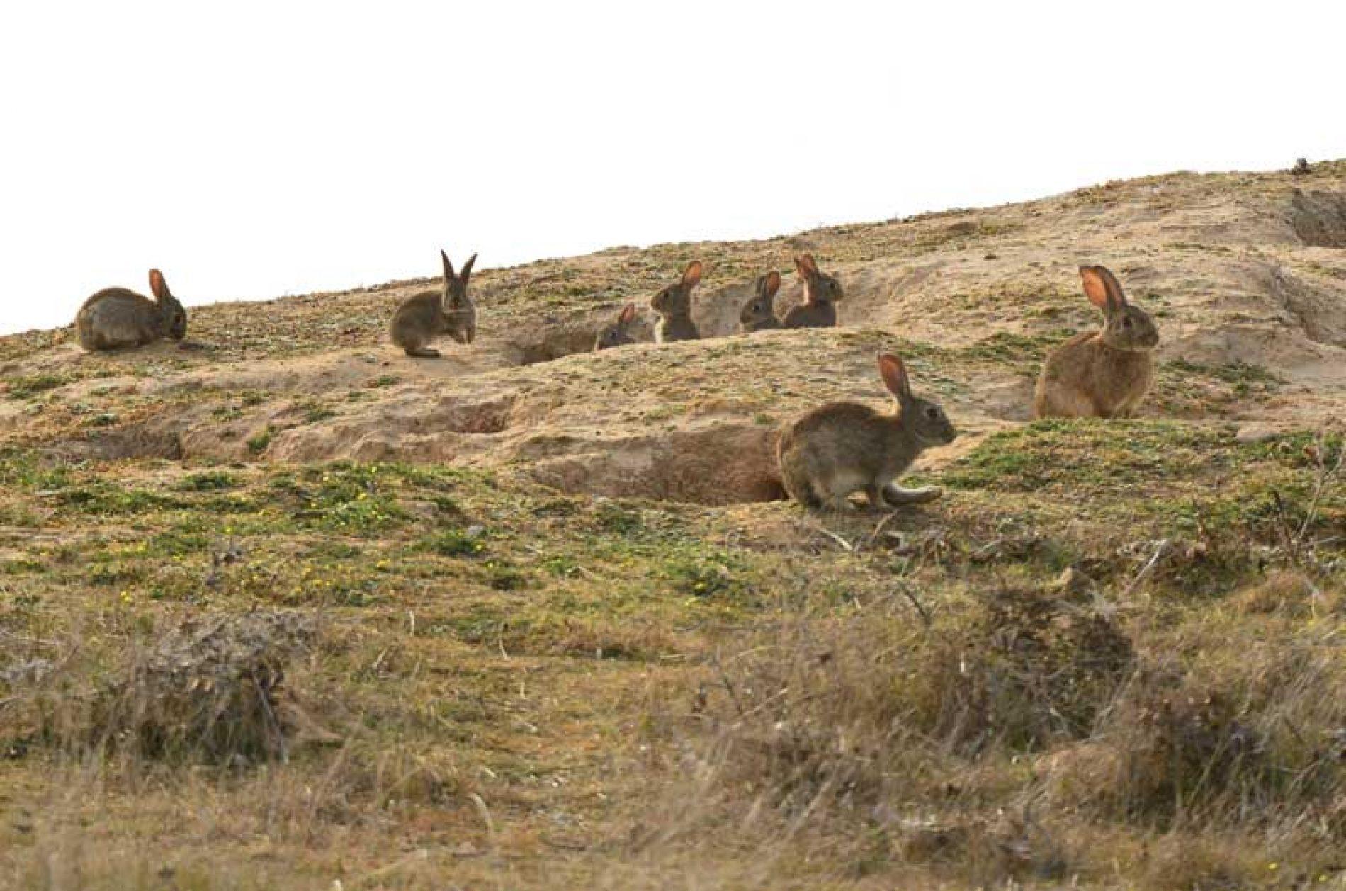 Análisis y evaluación de los daños de los conejos a la agricultura