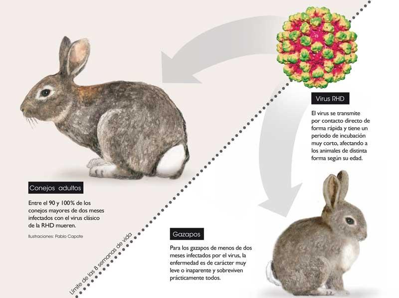 conejo-rhd-evolucion