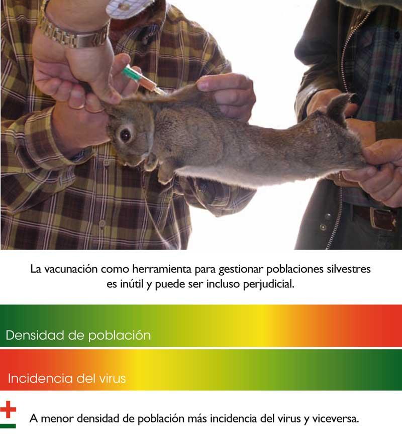 conejo-rhd-vacuna