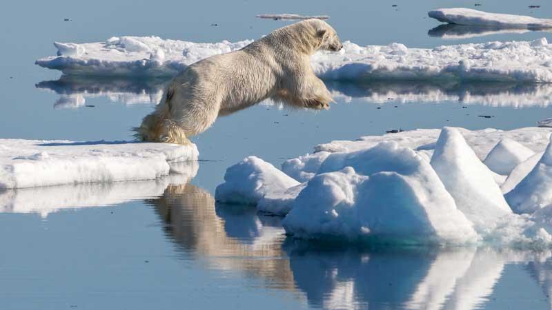 oso-polar-saltando