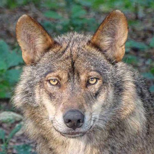 EL lobo podría no cazarse en toda la temporada en Castilla y León