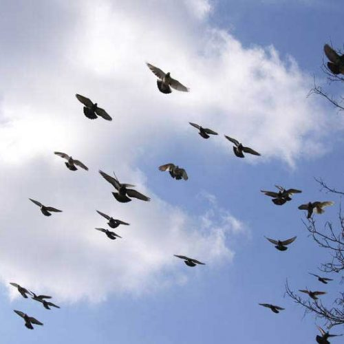 Cómo diferenciar las 3 especies de palomas de la península