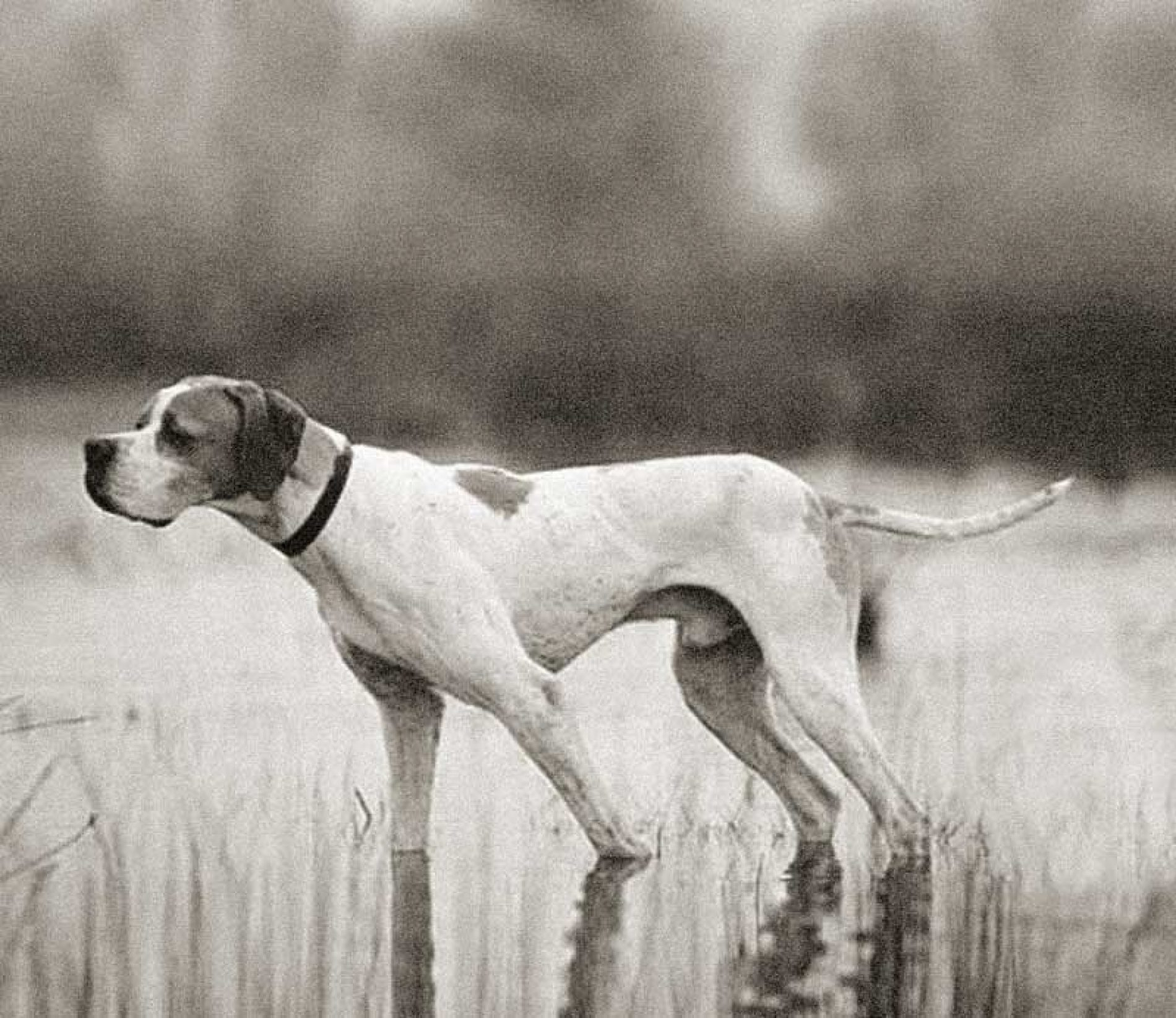 El pointer, clásico perro de muestra