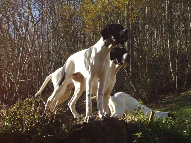 pointer-perro-de-muestra2
