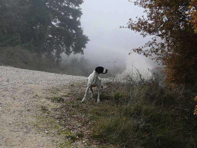 pointer-perro-de-muestra3