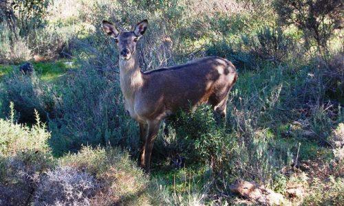 La  gestion del ciervo en Navarra