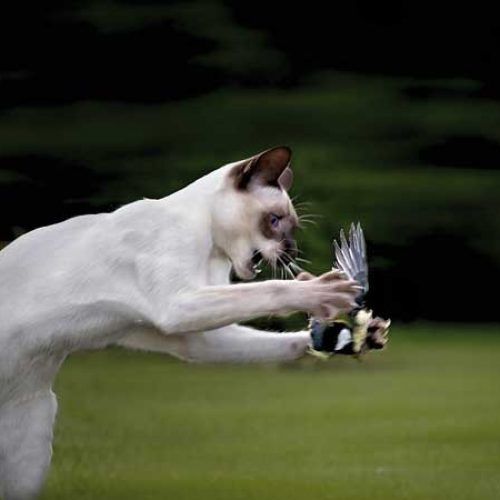 Gatos callejeros y asilvestrados, el mayor enemigo de la fauna menor