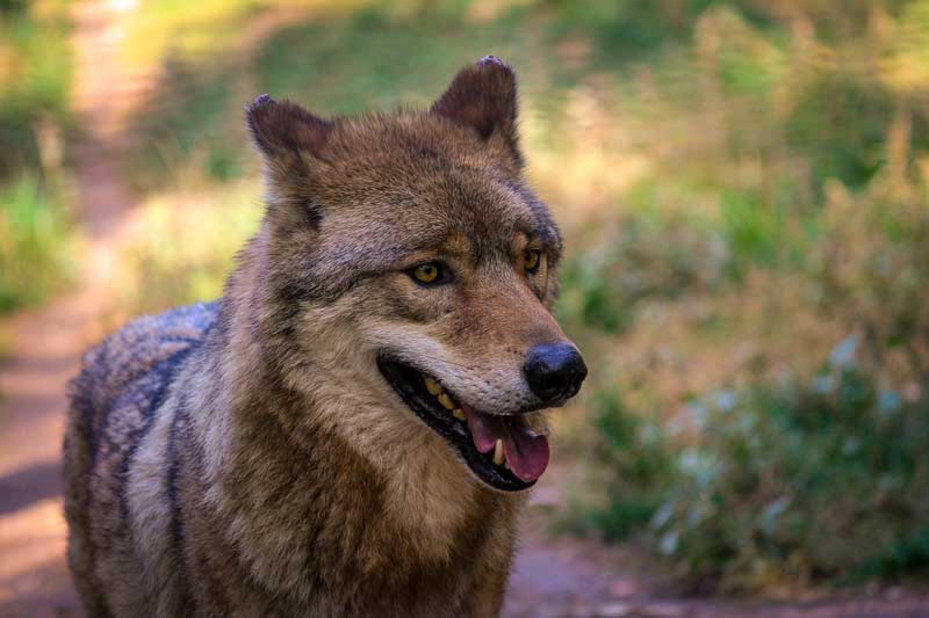 Las organizaciones agrarias exigen la dimisión Ribera si no retira la orden que prohíbe la caza del lobo