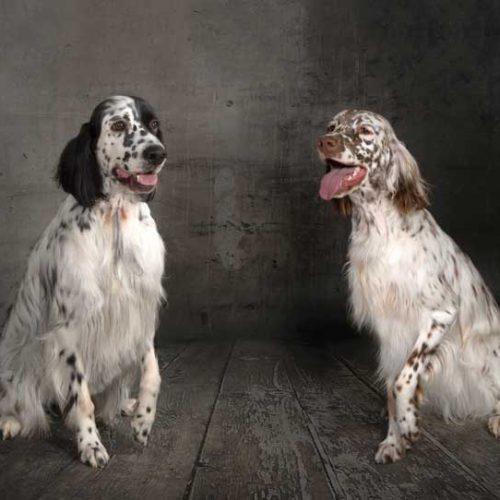 El Setter Inglés, seleccionando un perro para la caza