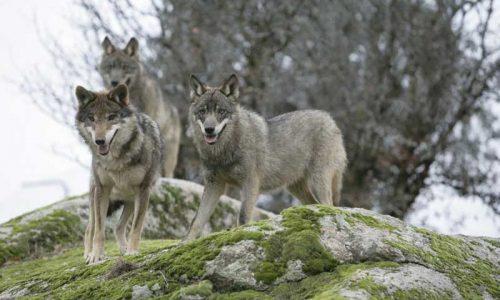 El lobo, el bobo y otras especies en peligro de expansión