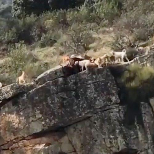 La RFEC consternada ante el accidente de los perros y el ciervo en Herreruela