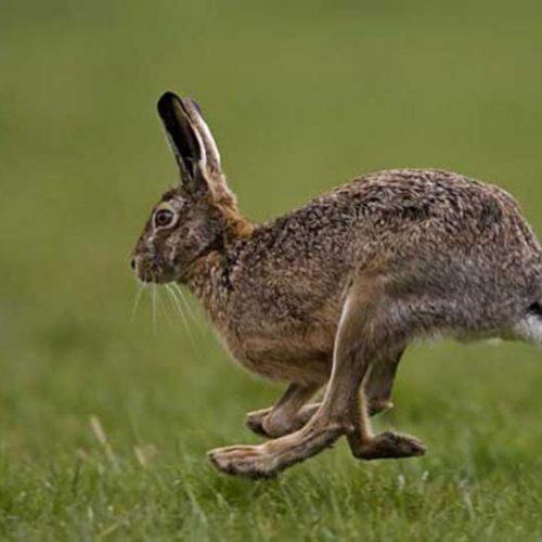 La RFEC suspende la caza de la liebre en todas sus competiciones