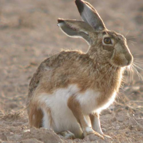 La Asamblea de Extremadura NO prohibe la caza de la liebre