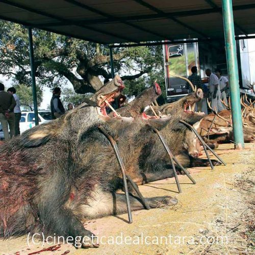 Un buen día de caza y gran trabajo de las rehalas en La Sierra