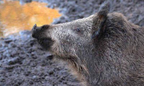 Los cazadores piden el control del jabalí en Asturias