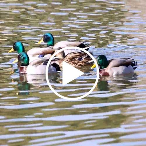 Vídeo El Pato, el gran ave acuática