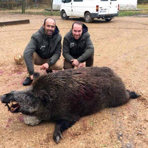 Cobrado un jabalí de 188 kilos en La Santa Espina