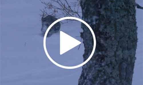 Vídeo Batidas de Jabalí bajo cero y con nieve