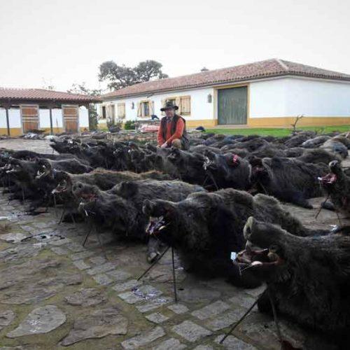 Gran calidad de trofeos de jabalí en la montería Ribera Alta