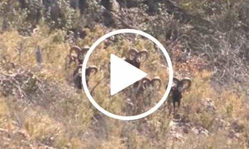 Vídeo La Maldición del muflón