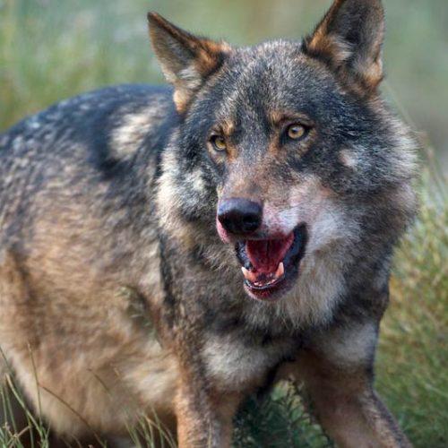 En Asturias se podrán seguir realizando acciones de control de la población de lobos