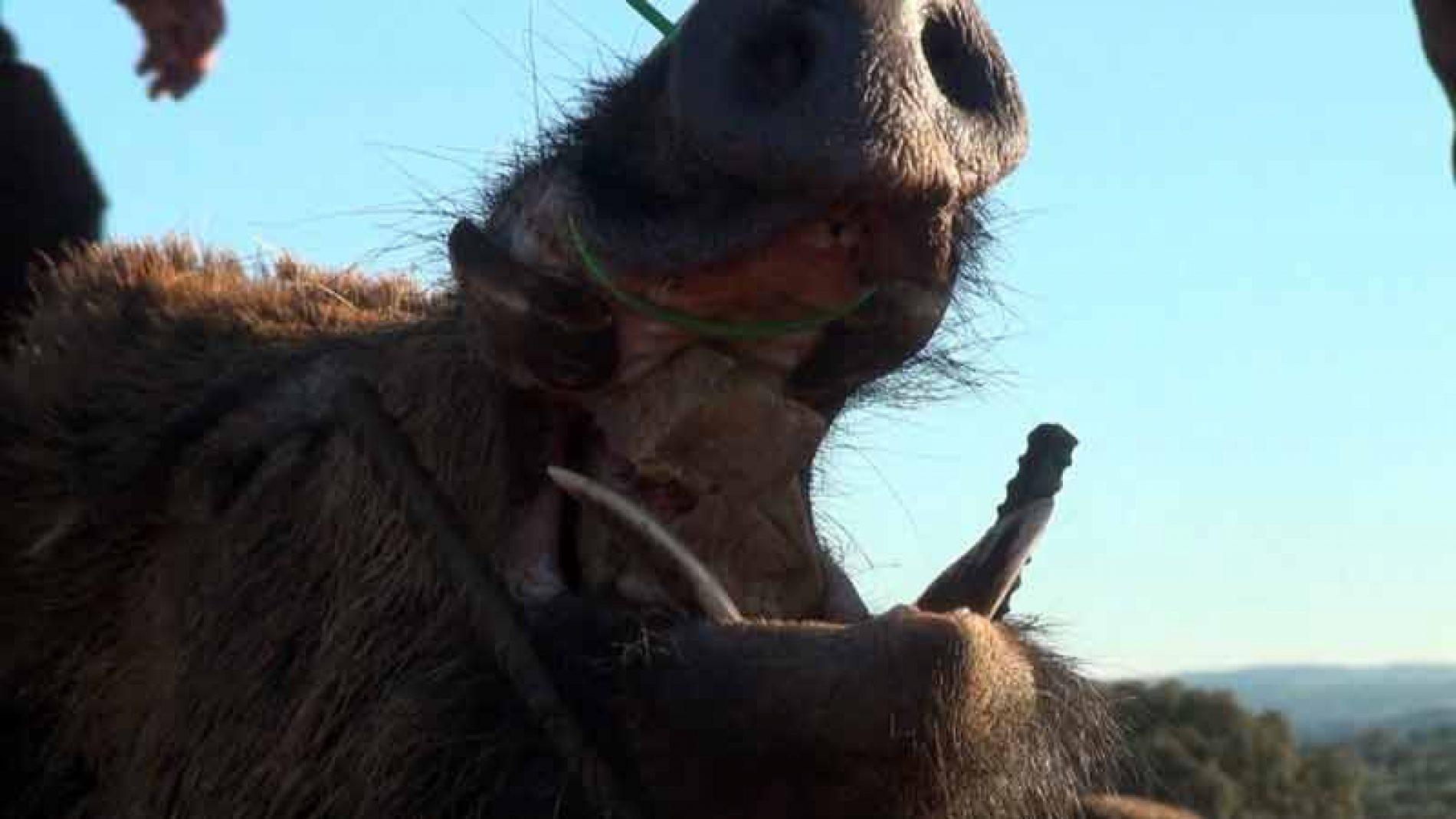 La Peña Monteros de Azuaga disfrutó de una gran montería en Las Arcas