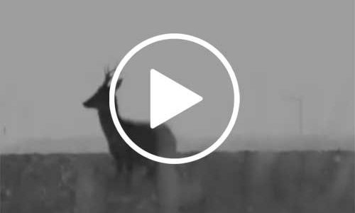 Video Corzos en Soria
