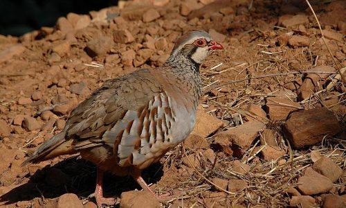 La FAC solicita que se interrumpan las labores de desbroce en Almargen para respetar la cría de la Perdiz