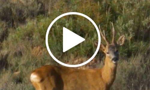 Video. Andando Tras el Corzo, Duendeando