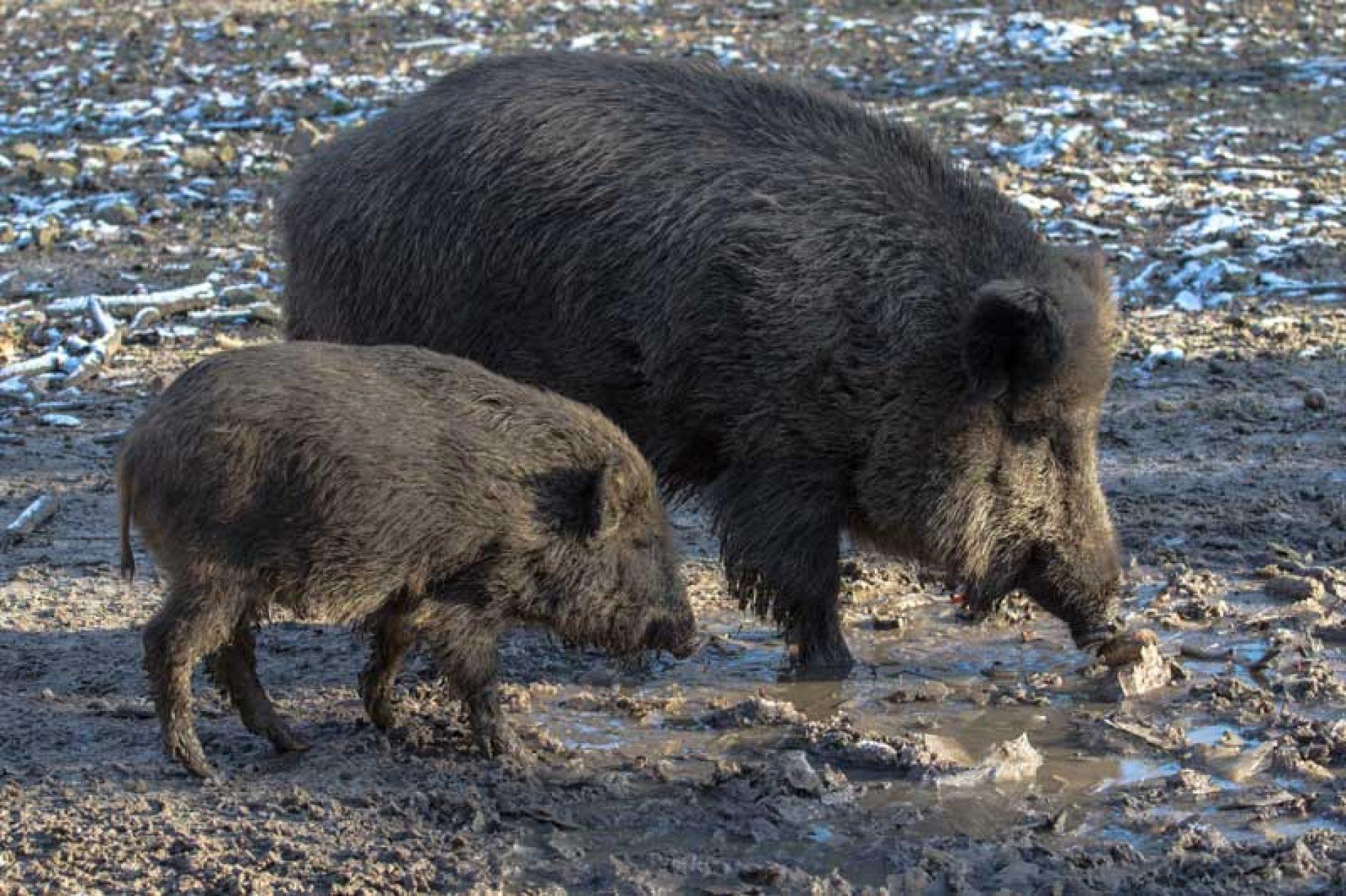 El control veterinario de triquina en la carne de jabalí, es obligatorio.