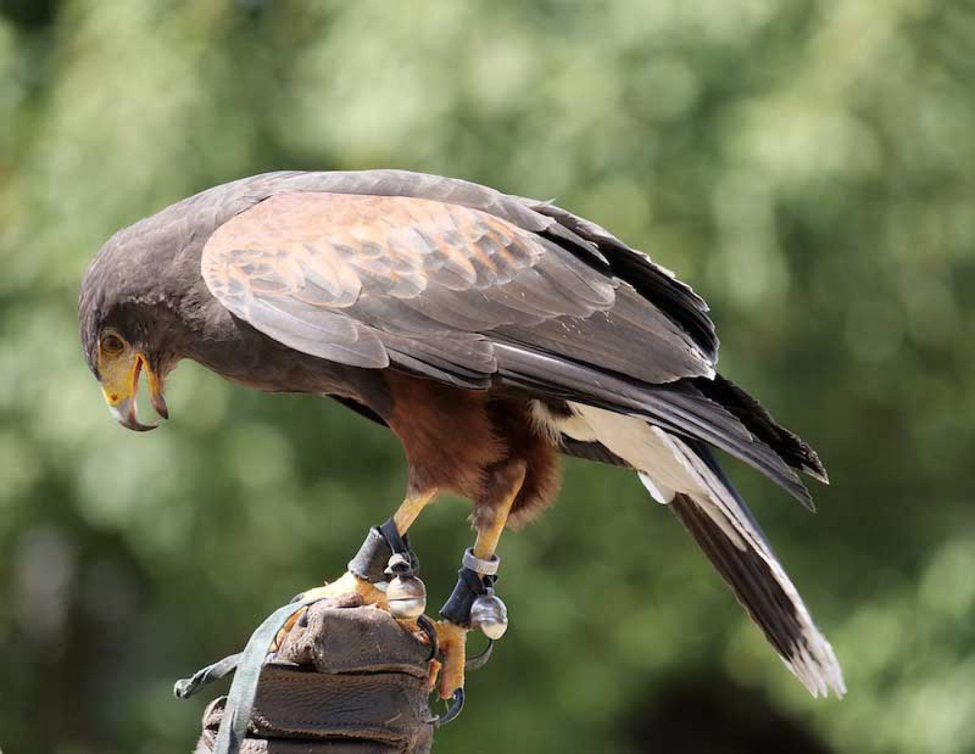 El MINCOTUR confirma a la RFEC que se podrán seguir exportando aves de cetrería.