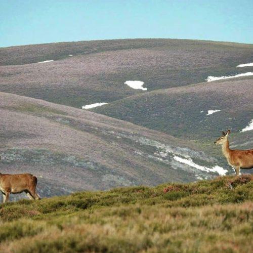 La Xunta de Galicia exime a los Tecores de pagar accidentes de corzas y ciervas