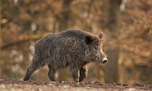 La RFEC continúa trabajando en la prevención de la llegada de la peste porcina africana a España
