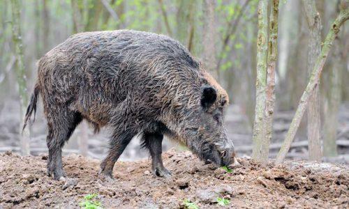 La Federación de Caza de la Comunidad Valenciana reclama una acción para que en todas las comarcas se pueda detectar la triquina