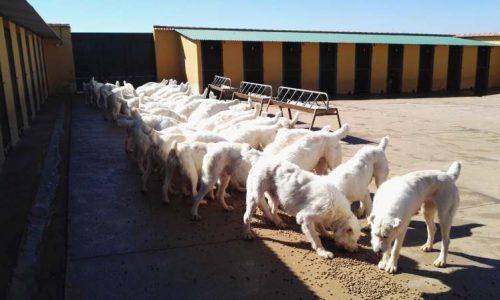La Asociación Española de Rehalas asume la gestión de la licencia de caza con rehala en Andalucía para sus socios