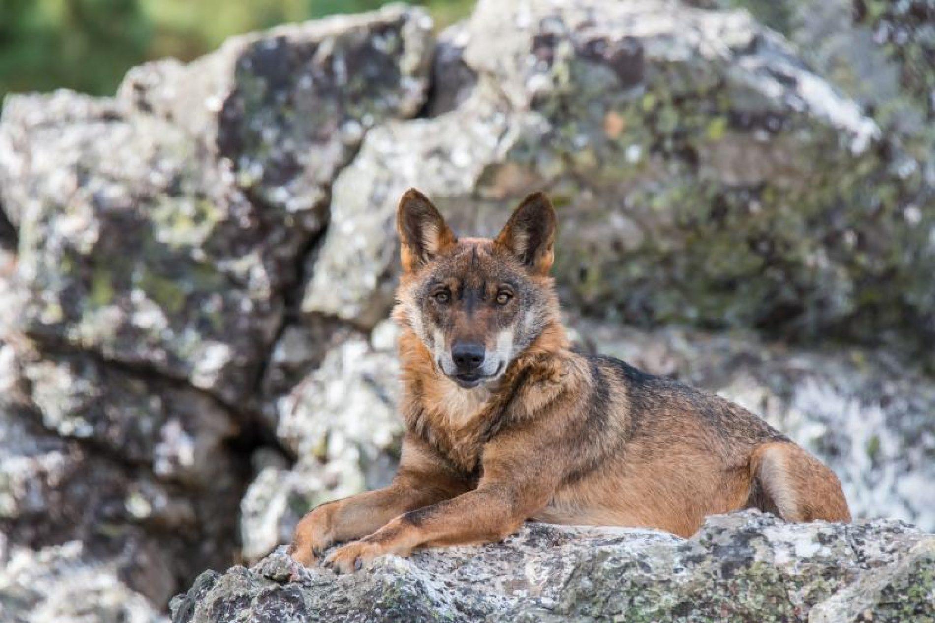 Artemisan se persona en los recursos judiciales interpuestos contra el Plan de Gestión del Lobo en Cantabria