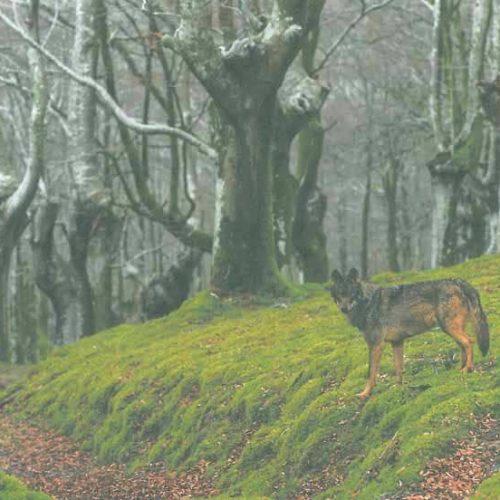 La RFEC se persona para defender el Plan de Gestión del Lobo en Cantabria