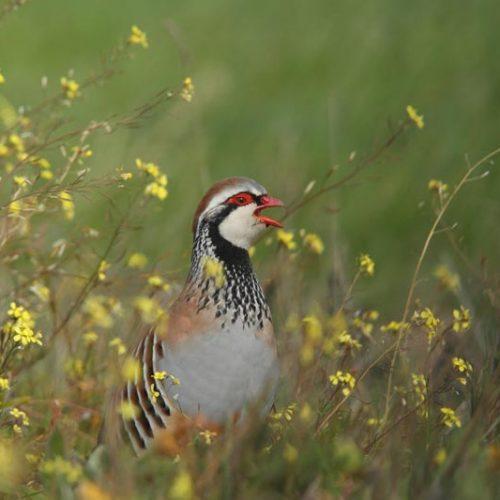 Artemisan anima al sector de la caza a realizar conteos para estudiar la situación de la perdiz roja