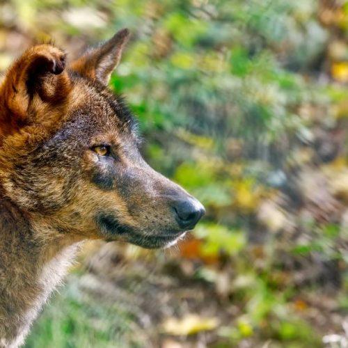 Una sentencia del Tribunal de Justicia de la UE abre la puerta al control cinegético de poblaciones de lobo al sur del Duero