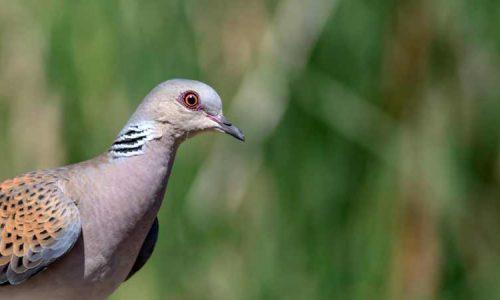 La RFEC presenta a Agricultura un plan de caza sostenible de la tórtola para esta temporada