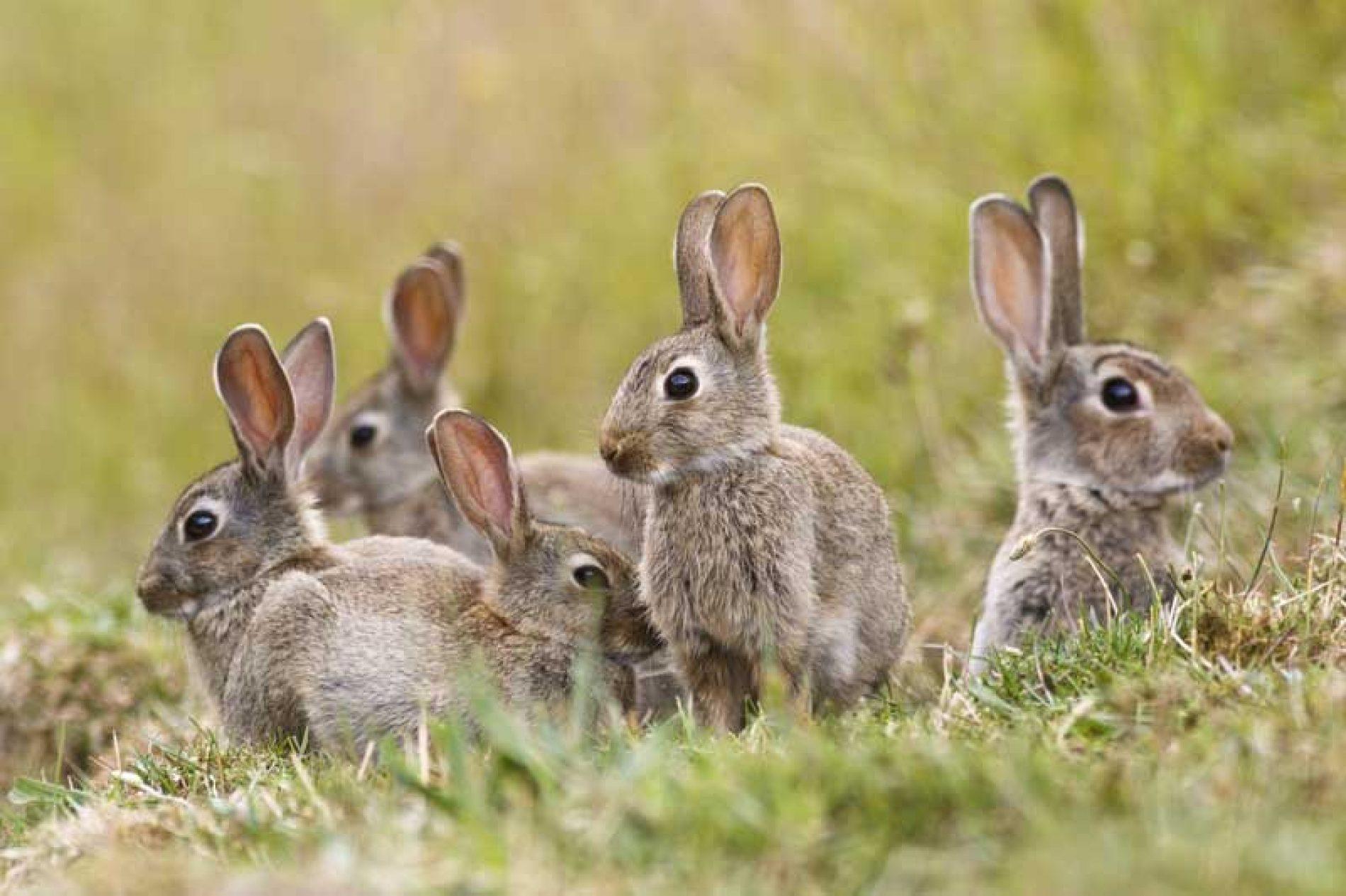 Fundación Artemisan apuesta por una gestión del conejo adaptada a la realidad de cada zona