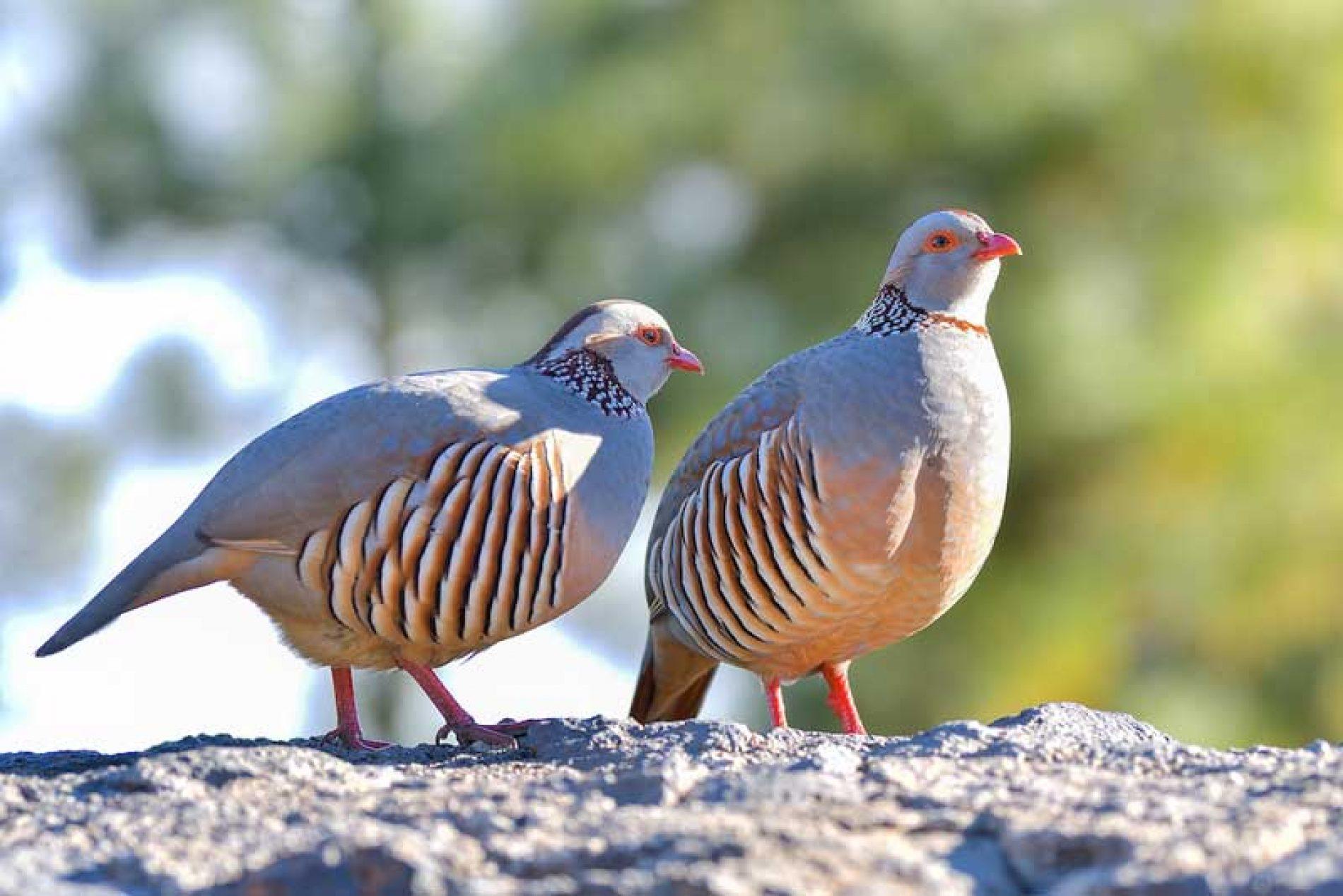 Cazadores de Fuerteventura y Artemisan realizan el primer censo de fauna silvestre en la isla